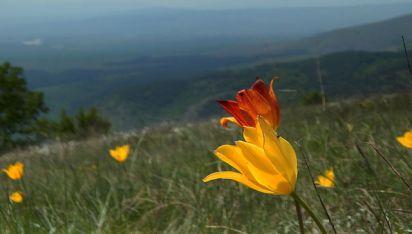 Урумово лале / Tulipa urumoffii photo credit : Iliana Teneva