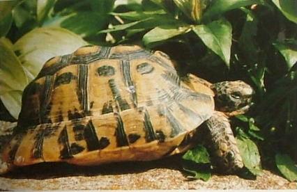 Шипобедрена костенурка / Testudo graeca Photo credit Richard Mayer