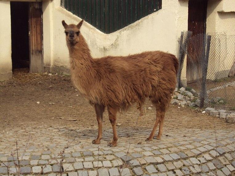 Зоо София Sofia_Zoo_-_Llama_002