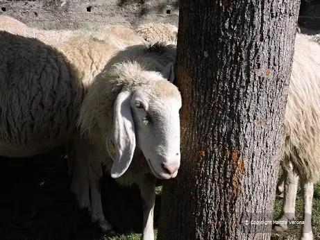 pecore alla fiera di Sampeyre (CN)