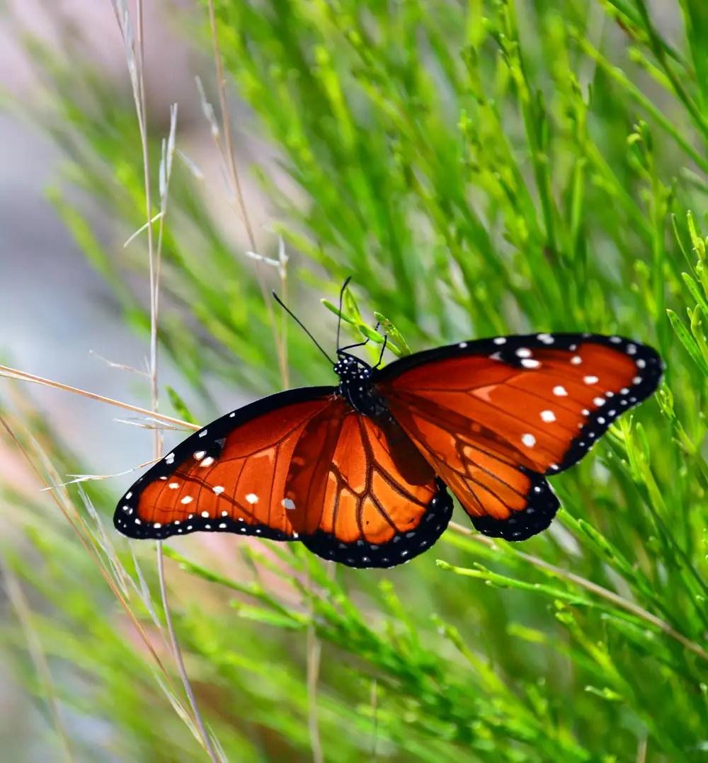 Queen Butterfly on Desert Broom. Copyright: Greg Joder.