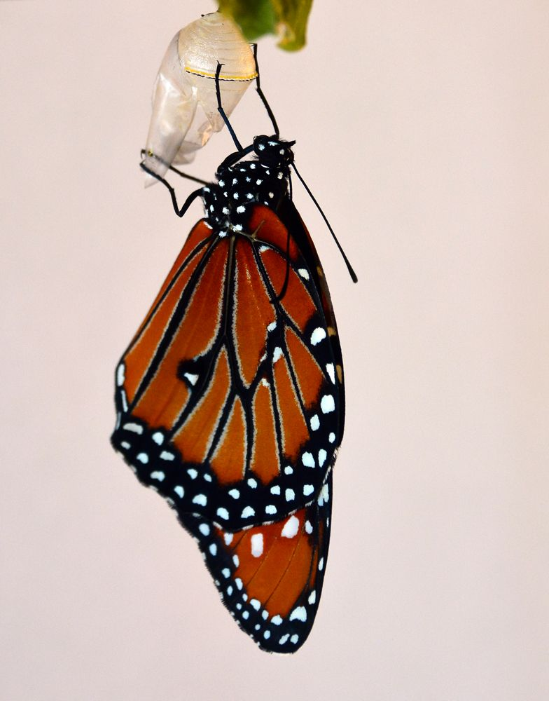 Adult butterfly emerges from its chrysalis. Copyright: Greg Joder.