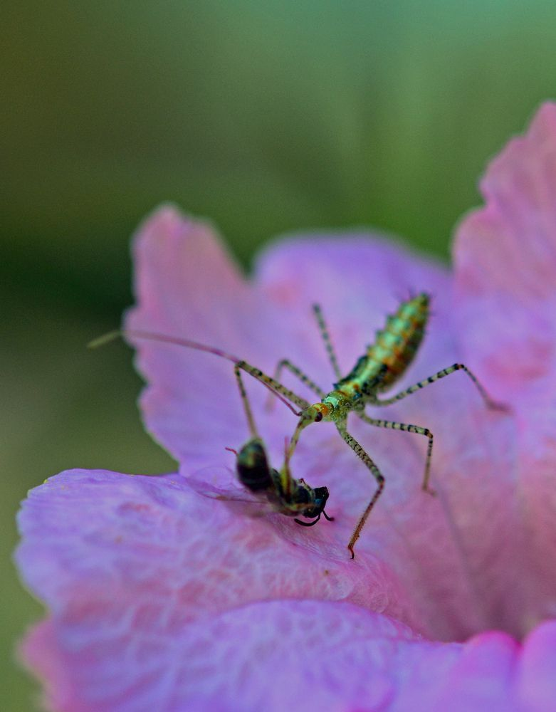 Copyright:  Greg Joder.  Assassin Bug with Prey.