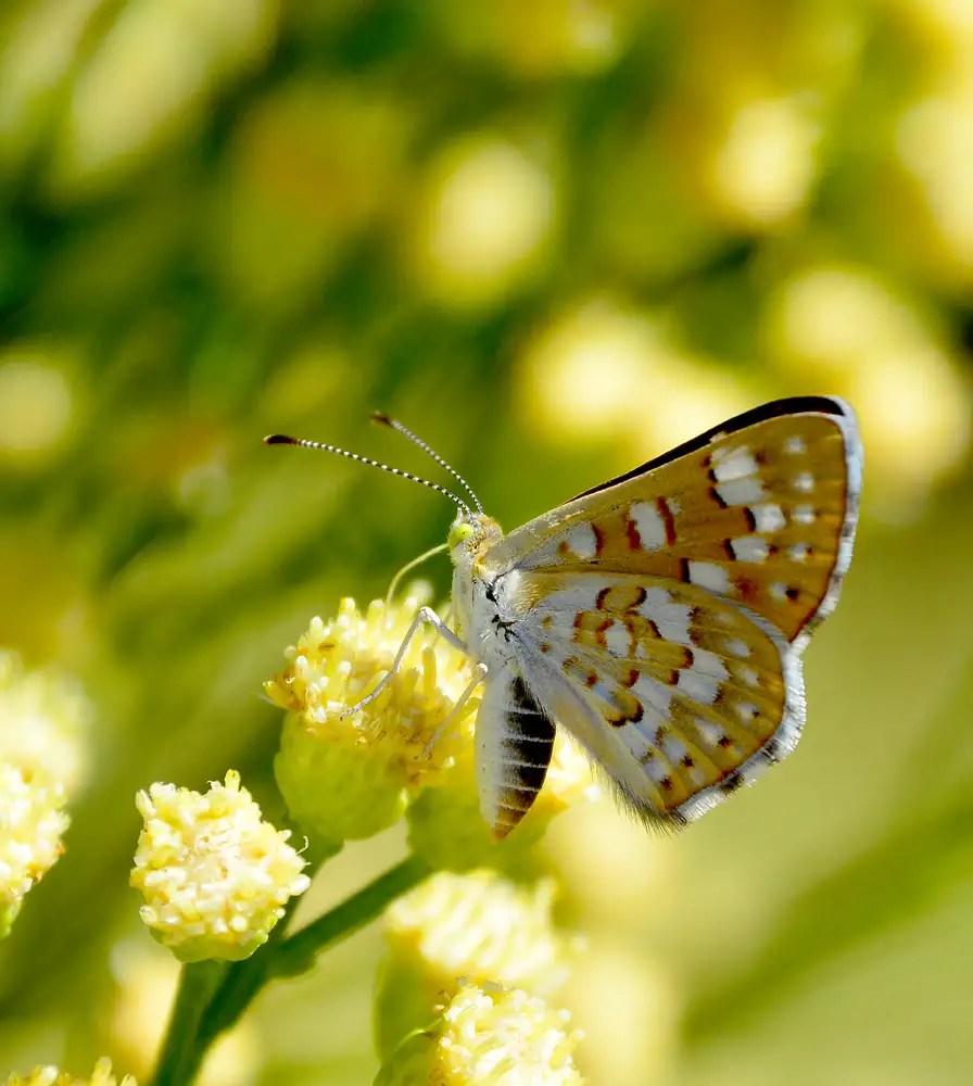 Metalark Butterfly Species on Desert Broom. Copyright: Greg Joder.