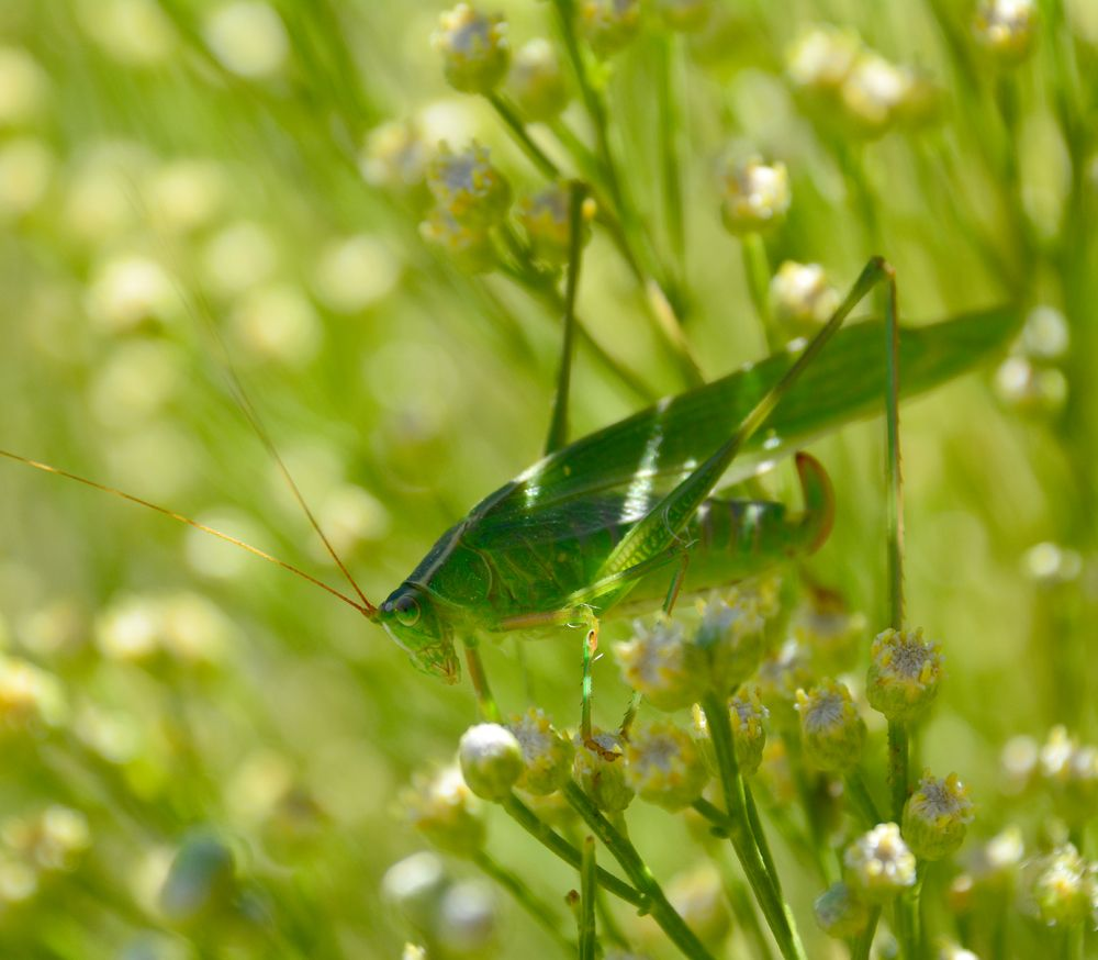 Katydid on Desert Broom. Copyright: Greg Joder.