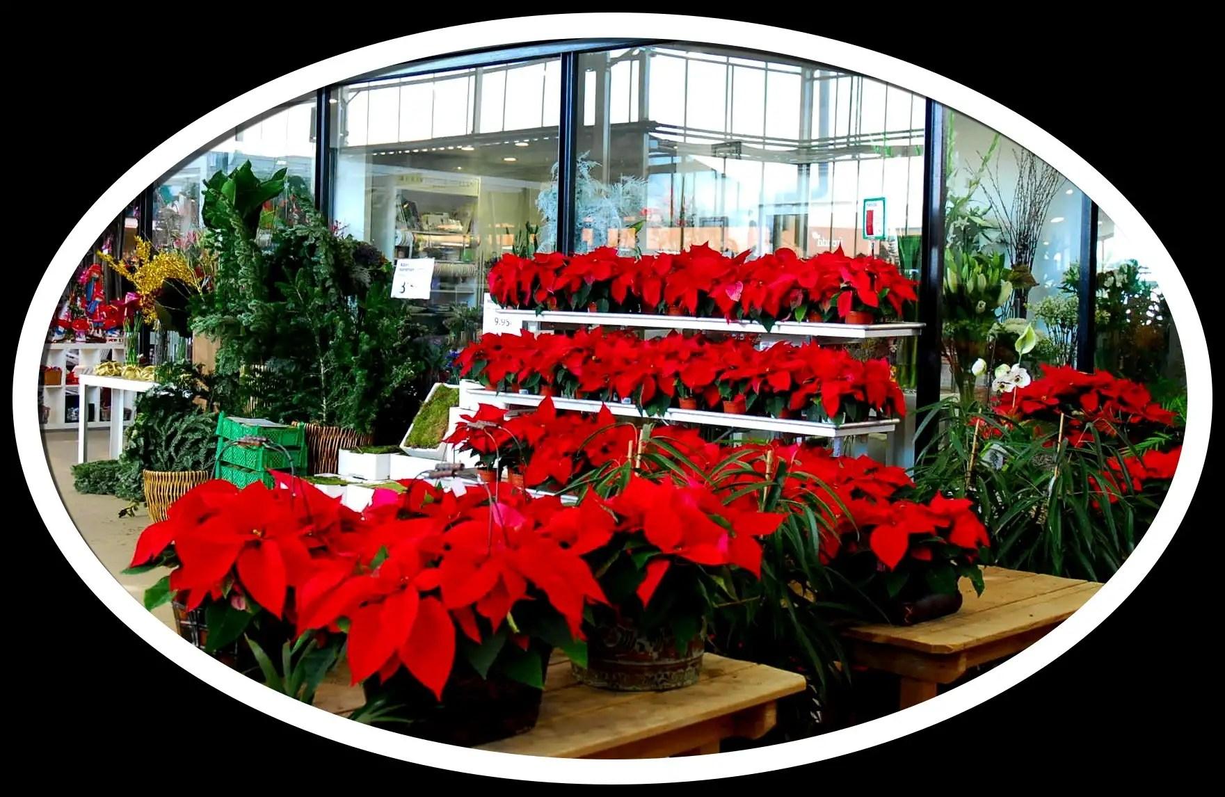 Queridas poinsetias el blog de fronda jardineria for Fronda decoracion