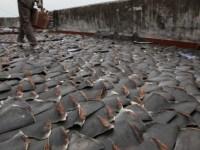 massacre de requins