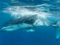 baleine bleue