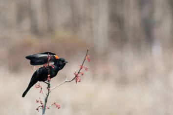 Red-winged Blackbird, Huntley Meadows Park. Nikon D200, 75-300 AF @300mm, ISO 400, f/6.7, 1/500 sec.