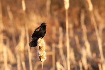 Red-winged Blackbird Singing, Huntley Meadows Park. Nikon D200, 75-300 AF @300mm, ISO 800, f/8, 1/500 sec.