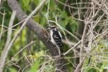 Hairy woodpecker, Greenbelt, North Chicago