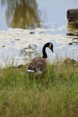 Canada goose, Greenbelt, North Chicago