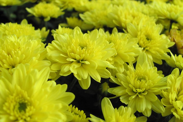 Hardy mums for sale