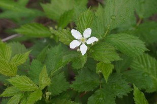 Raspberry flower - don't usually see just one