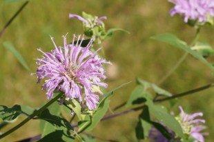 I know this is bee balm