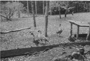Ainahou Ranch House and Gardens-nene-NPS