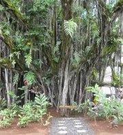 Banyan Drive Tree-Babe_Ruth