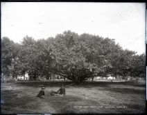 Banyan_Tree,_Courtyard,_Lahaina,_Maui,_photograph_by_Brother_Bertram
