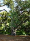Bodhi_tree_foster_botanical_gardens-Genetically identical to the Bodhi Tree (original) at Sri Mahabodhi temple, India