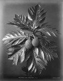 Breadfruit-1870