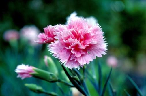 Carnation-UH