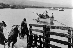 Cattle loading-Kailua-Kona