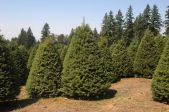 Douglas_Fir-Christmas_Trees