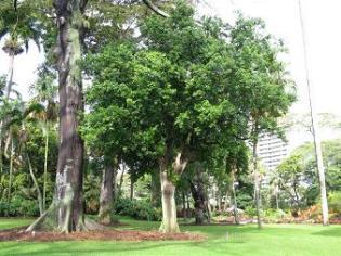 False Olive Tree, Elaeodendron orientale