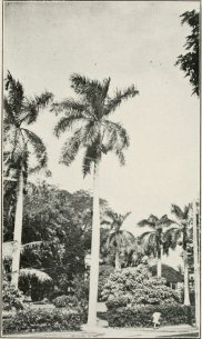 First_Royal_Palm_in_Hawaii-1936_Nuuanu_Avenue-at_Corner_of_Bates_Street-(TheHawaiianForesterAndAgriculturist-1916)