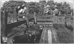 Garbage-fed pigs at Kemoo Farms-CTAHR-1923