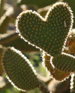 Heart_Cactus