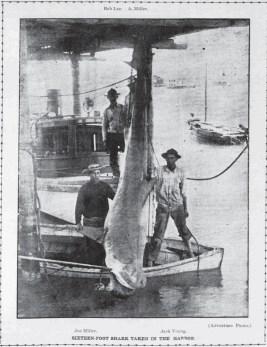 Honolulu Harbor Shark-Jack Young-PCA-June 14, 1907
