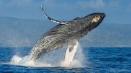 Humpback Whale-Hopkins