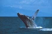 Humpback_Whale-Maui-(Stan_Butler-NOAA)-WC