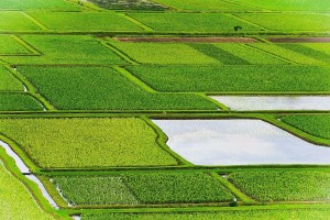 Wetland Taro