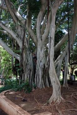 Kepaniwai Park and Heritage Gardens-Banyan