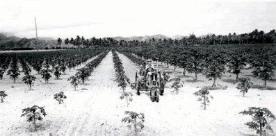 Kinji Nishikawa papaya on leased land in Coconut Grove (coconuts in background)-1937