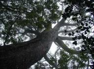 Example of Koa_Tree