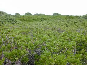 Kure Atoll (Forest & Kim Starr)
