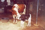 CTY LANIMOO 2001 OCTOBER - Lani Moo and Baby Moo. Courtesy Meadow Gold Dairies.
