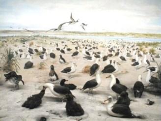 Laysan Island Cyclorama-Laysan Albatrosses-UIowa