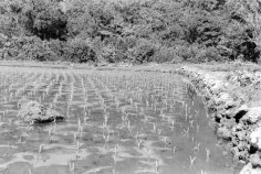 Lo'i at Honokōhau, Maui, Huli planted in lines-(BishopMuseum)-1940