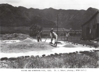 Mixing and Winnowing Rice-1925