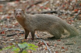Mongoose-Purvis