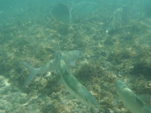 Oio Bonefish