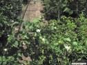 Pikake-jasminum_sambac__(arabian_jasmine)