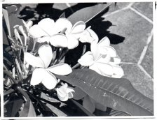 Plumeria 1-Babcock