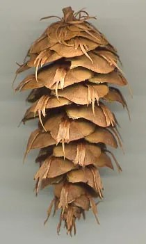 Pseudotsuga_menziesii_cone-From a tree grown from seed collected by David Douglas