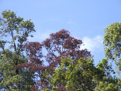 Rapid Ohia Death Symptons -rapid browning of tree crowns-CTAHR
