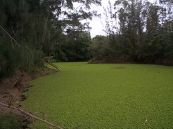 Salvinia_Covered_Reservoir